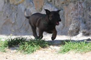 BTWW-H-Malinois-Pups-030319-0052