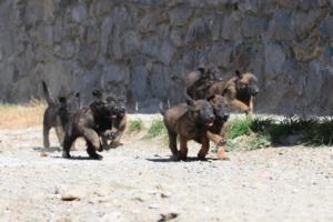 BTWW-H-Malinois-Pups-030319-0053