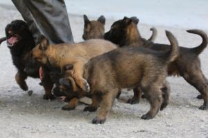 BTWW-H-Malinois-Pups-030319-0061