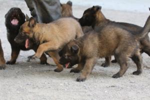 BTWW-H-Malinois-Pups-030319-0062