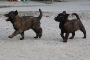 BTWW-H-Malinois-Pups-030319-0067