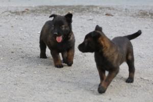 BTWW-H-Malinois-Pups-030319-0068