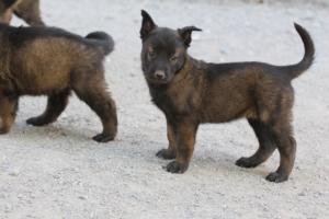 BTWW-H-Malinois-Pups-030319-0069