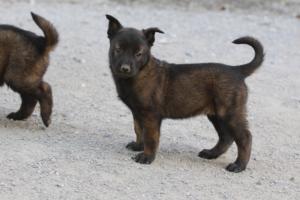 BTWW-H-Malinois-Pups-030319-0070