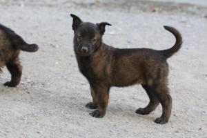 BTWW-H-Malinois-Pups-030319-0071