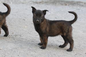 BTWW-H-Malinois-Pups-030319-0072