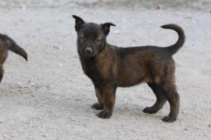 BTWW-H-Malinois-Pups-030319-0073