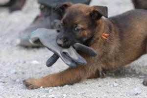 BTWW-H-Malinois-Pups-030319-0074