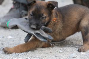 BTWW-H-Malinois-Pups-030319-0075