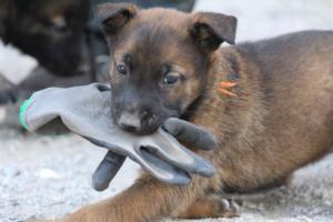 BTWW-H-Malinois-Pups-030319-0077