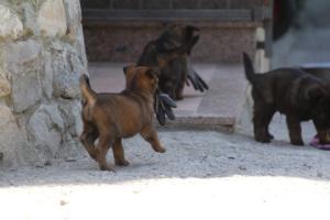 BTWW-H-Malinois-Pups-030319-0087