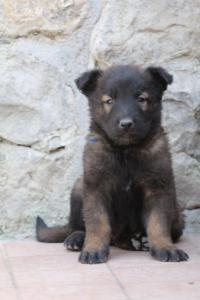 BTWW-H-Malinois-Pups-030319-0088