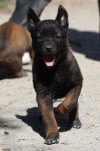 BTWW-H-Malinois-Pups-030319-0089