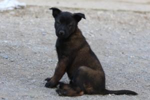 Malinois-Puppies-Monaco-BTWW-H-080319-0004