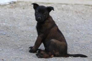 Malinois-Puppies-Monaco-BTWW-H-080319-0005