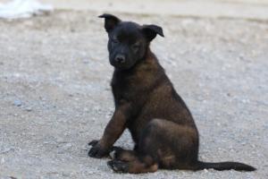 Malinois-Puppies-Monaco-BTWW-H-080319-0006