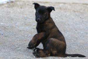 Malinois-Puppies-Monaco-BTWW-H-080319-0007