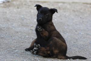 Malinois-Puppies-Monaco-BTWW-H-080319-0008