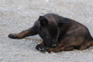 Malinois-Puppies-Monaco-BTWW-H-080319-0010