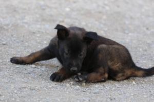 Malinois-Puppies-Monaco-BTWW-H-080319-0011