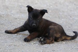 Malinois-Puppies-Monaco-BTWW-H-080319-0012