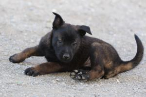Malinois-Puppies-Monaco-BTWW-H-080319-0013