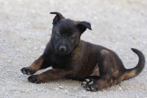 Malinois-Puppies-Monaco-BTWW-H-080319-0014