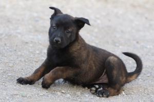 Malinois-Puppies-Monaco-BTWW-H-080319-0015