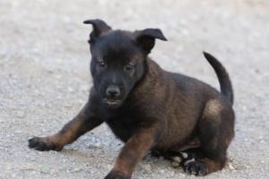 Malinois-Puppies-Monaco-BTWW-H-080319-0016