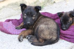 Malinois-Puppies-Monaco-BTWW-H-080319-0017
