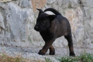 Malinois-Puppies-Monaco-BTWW-H-080319-0018