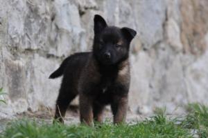 Malinois-Puppies-Monaco-BTWW-H-080319-0019