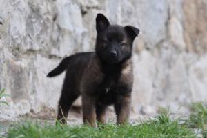 Malinois-Puppies-Monaco-BTWW-H-080319-0020