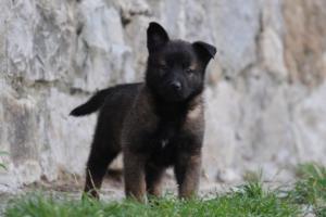 Malinois-Puppies-Monaco-BTWW-H-080319-0021