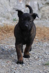 Malinois-Puppies-Monaco-BTWW-H-080319-0022