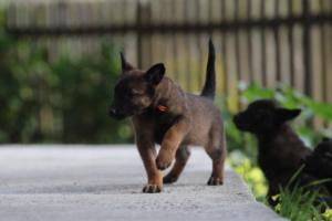 Malinois-Puppies-Monaco-BTWW-H-080319-0023
