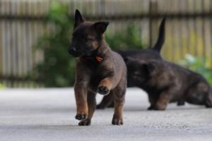 Malinois-Puppies-Monaco-BTWW-H-080319-0024