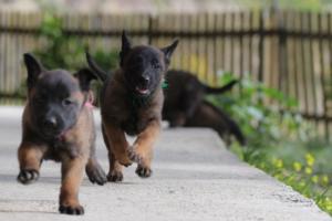 Malinois-Puppies-Monaco-BTWW-H-080319-0025