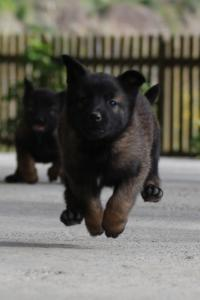 Malinois-Puppies-Monaco-BTWW-H-080319-0026