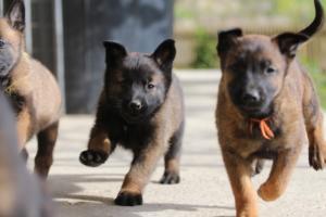 Malinois-Puppies-Monaco-BTWW-H-080319-0027