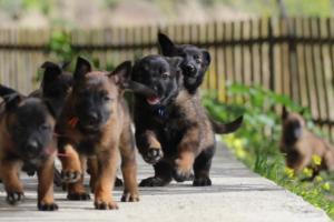 Malinois-Puppies-Monaco-BTWW-H-080319-0028