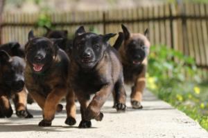Malinois-Puppies-Monaco-BTWW-H-080319-0029