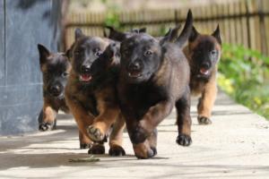 Malinois-Puppies-Monaco-BTWW-H-080319-0030