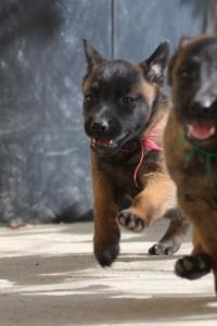 Malinois-Puppies-Monaco-BTWW-H-080319-0031