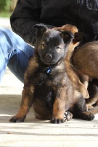 Malinois-Puppies-Monaco-BTWW-H-080319-0032