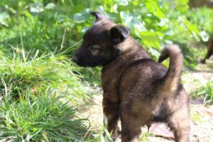 Malinois-Puppies-Monaco-BTWW-H-080319-0034