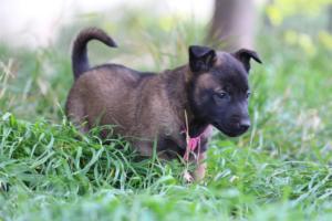 Malinois-Puppies-Monaco-BTWW-H-080319-0035