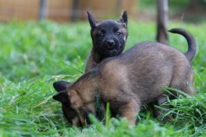 Malinois-Puppies-Monaco-BTWW-H-080319-0036