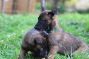 Malinois-Puppies-Monaco-BTWW-H-080319-0037