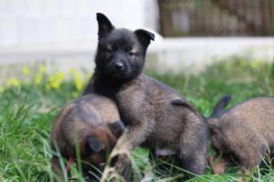Malinois-Puppies-Monaco-BTWW-H-080319-0038